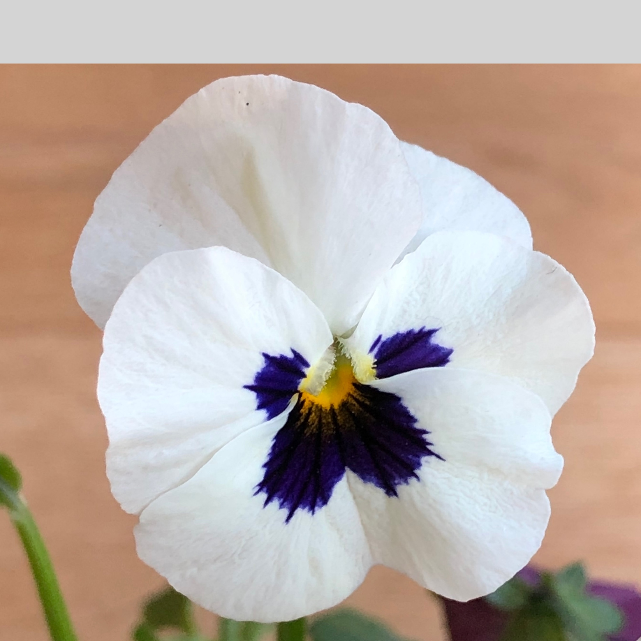 Pansies – online tuition (free)